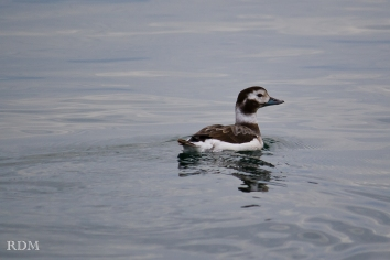 Long-tailed duck hen_s